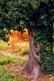 Un tronc d'arbre puissant enlacé avec le lierre image stock
