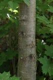 Un tronc d'un érable avec des noeuds Photos stock