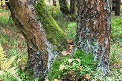 Un tronco bifurcado del abedul, cubierto con el musgo y el liquen en bosque del verano, Rusia Fotografía de archivo