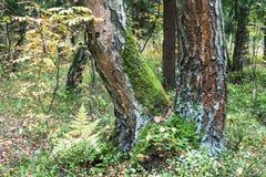 Un tronco bifurcado del abedul, cubierto con el musgo y el liquen en bosque del verano, Rusia Fotos de archivo