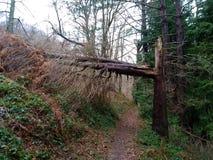 Un tronco de árbol grande en el bosque, en una madera fractura de madera, quebrado, saltada destruido por el tiempo salvaje fotografía de archivo libre de regalías