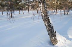 Un tronco de árbol que se inclina cubierto con nieve en bosque del parque del invierno Foto de archivo libre de regalías