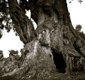 Un tronco de extensión y que se agrieta potente de una vieja aceituna foto de archivo