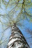 Un tronco de un abedul con las ramas raras y las pequeñas hojas verdes en un fondo del cielo azul, un fondo soleado Imagen de archivo libre de regalías
