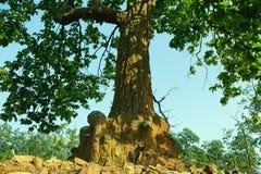 Un tronco e foglie di albero Immagine Stock Libera da Diritti