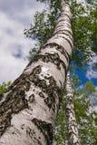 Un tronco grueso de un abedul en fondo del cielo azul Imágenes de archivo libres de regalías
