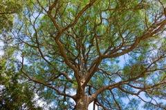 Un tronco nodoso contro un cielo blu Fotografie Stock Libere da Diritti