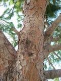 Un tronco viejo enorme del marrón del árbol con las hojas verdes bajo sol en Líbano en el día soleado Imágenes de archivo libres de regalías