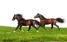 Un trotto dei due stallions Immagini Stock Libere da Diritti