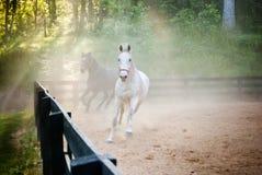 Un trotto di due cavalli attraverso polvere Fotografie Stock Libere da Diritti
