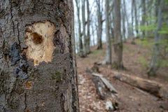 Un trou a picot? par un pivert dans un arbre Un arbre mutil? par un oiseau images stock