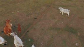 Un troupeau énorme de vaches frôlant dans la steppe clips vidéos