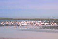 Un troupeau énorme des flamants roses élégants recherchant des mollusques dans les eaux froides de l'Océan Atlantique photographie stock libre de droits