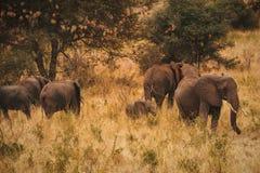 Un troupeau d'éléphants au parc national de Meru, Kenya photos stock