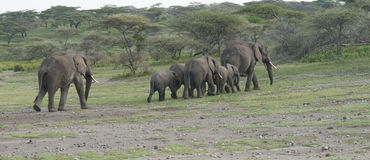 Un troupeau d'éléphants dans une ligne Photos libres de droits