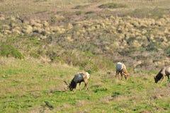 Un troupeau d'élans de taureau Photo stock