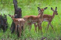 Un troupeau d'impalas femelles et jeunes Photographie stock