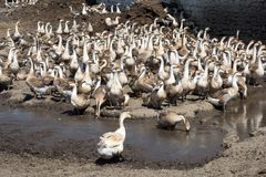 Un troupeau d'oies grises est venu à l'endroit d'arrosage Images libres de droits