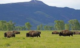 Un troupeau de bison croisant un champ ouvert. images stock