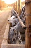 Un troupeau de Brahmans au temps alimentant Photo libre de droits