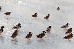 Un troupeau de canard marchent dans la neige Image stock