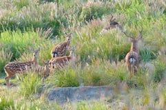 Un troupeau de cerfs communs images libres de droits