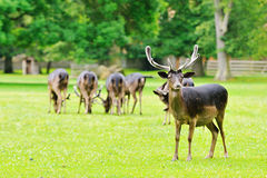 Un troupeau de cerfs communs Photographie stock libre de droits