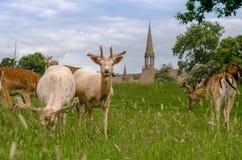 Un troupeau de cerfs communs affrichés images libres de droits
