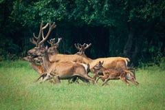 Un troupeau de cerfs communs dans une forêt Photographie stock libre de droits
