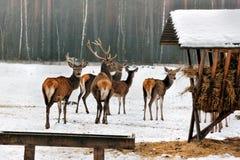 Un troupeau de cerfs communs en hiver de champs Photos libres de droits