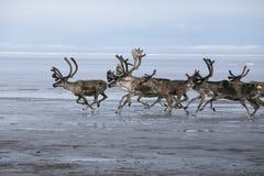 Un troupeau de cerfs communs fonctionnant sur l'étagère de mer Photo libre de droits