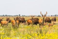 Un troupeau de cerfs communs nobles frôlent dans la steppe Photos libres de droits