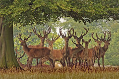 Un troupeau de cerfs communs rouges Photo stock