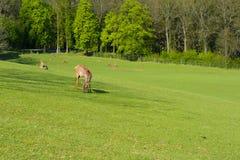 Un troupeau de cerfs communs sur un pâturage vert au coucher du soleil Images libres de droits