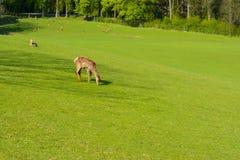 Un troupeau de cerfs communs sur un pâturage vert au coucher du soleil Photo stock