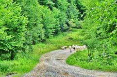 Un troupeau de chèvres Image libre de droits
