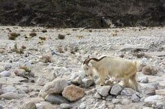 Un troupeau de chèvres de Pashmina Photos stock