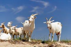 Un troupeau de chèvres domestiques Images libres de droits