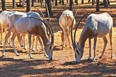 Un troupeau de chèvres sauvages Images stock