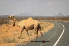 Un troupeau de chameaux se refroidit en rivière un jour chaud d'été Le Kenya, Ethiopie images stock