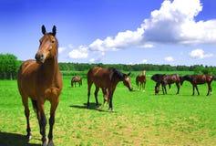 Un troupeau de chevaux. Image stock