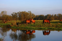 Un troupeau de chevaux Images libres de droits