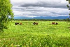 Un troupeau de chevaux est frôlé sur un pré vert contre le contexte des montagnes et d'un ciel nuageux photographie stock libre de droits