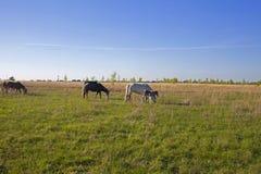 Un troupeau de chevaux frôlant sur les périphéries d'une ville provinciale images stock