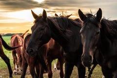 Un troupeau de chevaux frôle et gambade les uns avec les autres au coucher du soleil image libre de droits