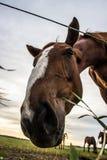 Un troupeau de chevaux frôle et gambade les uns avec les autres au coucher du soleil photo libre de droits