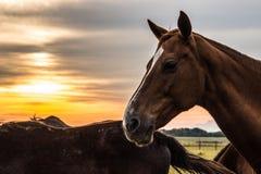 Un troupeau de chevaux frôle et gambade les uns avec les autres au coucher du soleil image stock
