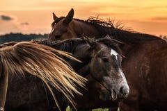 Un troupeau de chevaux frôle et gambade les uns avec les autres au coucher du soleil photographie stock libre de droits