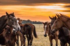 Un troupeau de chevaux frôle et gambade les uns avec les autres au coucher du soleil photographie stock