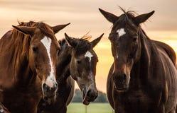Un troupeau de chevaux frôle et gambade les uns avec les autres au coucher du soleil images stock